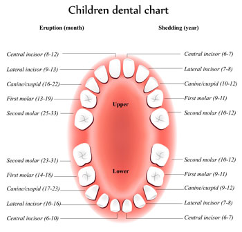 Tooth Eruption Chart - Pediatric Dentist in Duncan, SC and Spartanburg County